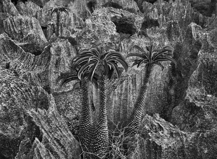 Sebastiao_Salgado_Genesis_Madagascar_arbres